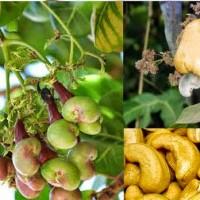 20-Cashew-font-b-Nut-b-font-Apple-Plant-Anacardium-Occidentale-Tree-Planting-font-b-Seeds
